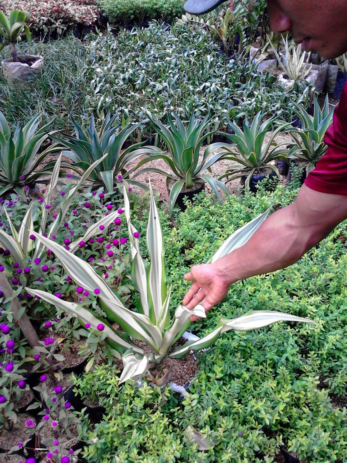 Jual Tanaman Agave | Tanaman Hias Online | Suplier Tanaman Dan Rumput