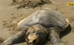 Dead Olive Ridley sea turtles washed ashore in Vedharanyam