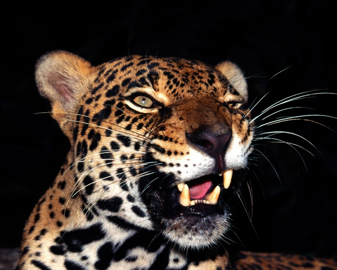 animals wallpapers amazing leopard face cute cats animal cheetah breathtaking cat pretty leopards tiger eat