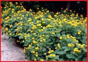 Daftar harga tumbuhan hias lantana cemara Daftar harga tumbuhan hias lantana cemara