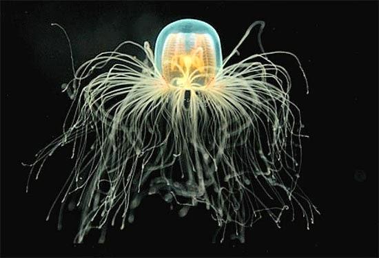Turritopsis nutricula - Água-viva imortal - revolução da ciência