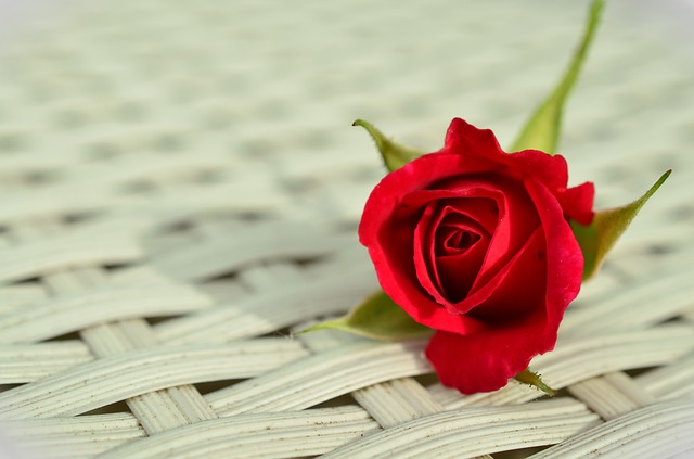 red rose live wallpaper free download