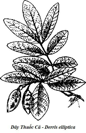Hình vẽ Dây Thuốc Cá - Derris elliptica - Nguyên liệu làm thuốc Có Chất Độc