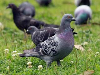 pigeon information in hindi   कबूतर