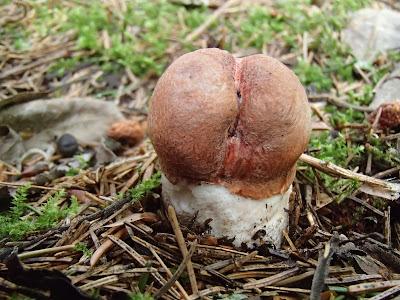 koźlarz świerkowy Leccinum piceinum