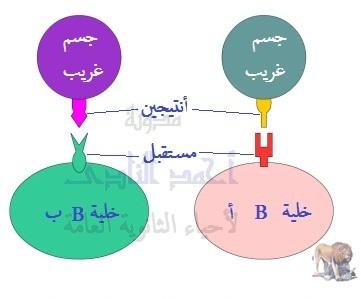 الخلايا البائية متخصصة لنوع واحد من الأنتيجينات
