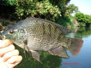 Umpan Ikan Nila Dan Mujaer Tinggal Seduh