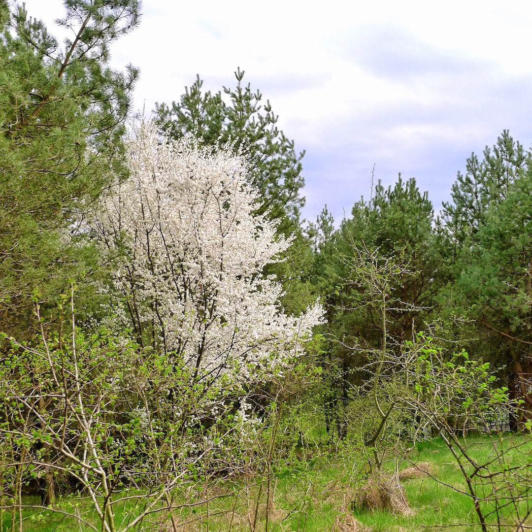 Žydintys medžiai Sapieginėje