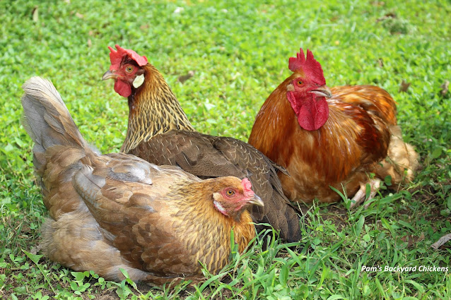 If your goal is to get eggs, check out this top ten list of productive breeds.