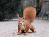 Red Squirrel Puzzle
