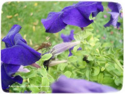 Магия биологии, петунии, садоводство