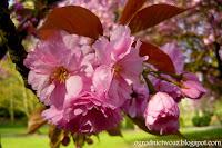 Wiśnia piłkowana (Prunus serrulata)