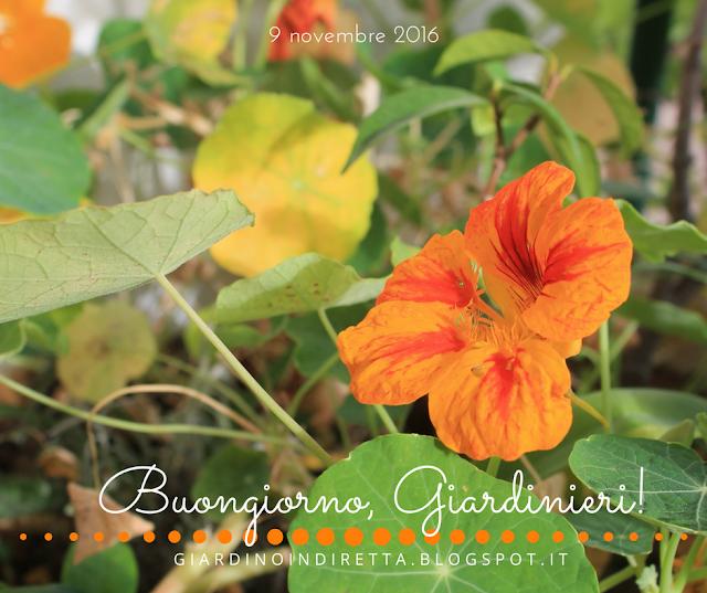 nasturzi (tropaeolum majus) - l'agenda del giardino e del giardiniere - un giardino in diretta