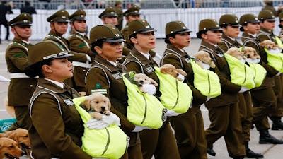 تجنيد عشرات الكلاب في تشيلي