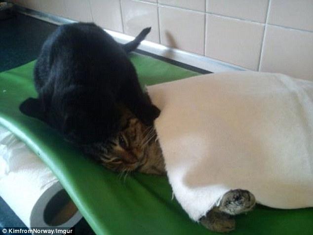 http://kongxie.blogspot.my/2017/06/kucing-jadi-jururawat-kisah-benar.html