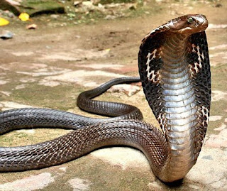 King cobra facts about snakes
