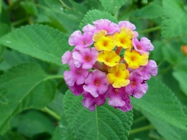 16 Manfaat Bunga Tembelekan Untuk Pengobatan Dan Kecantikan