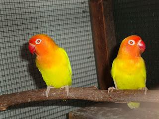 Ternak-Lovebird-Lutino-Mata-Merah
