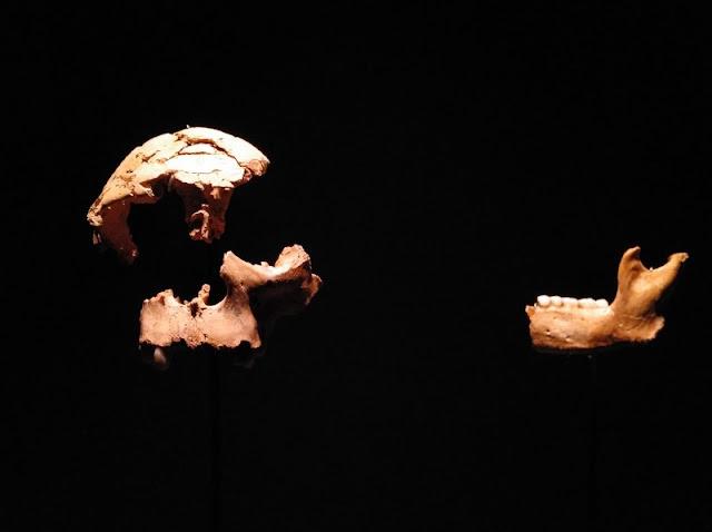 Restos del Homo Anteccesor en el Museo de la Evolución Humana en Burgos