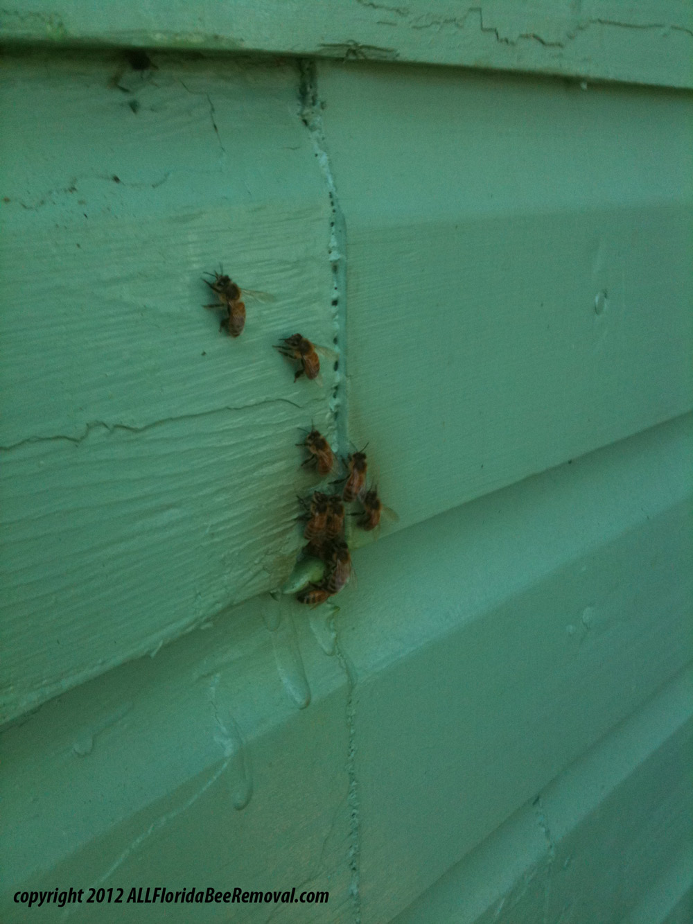 Bee Removal from Walls Call Toll Free 1-855-930-BEES (2337)