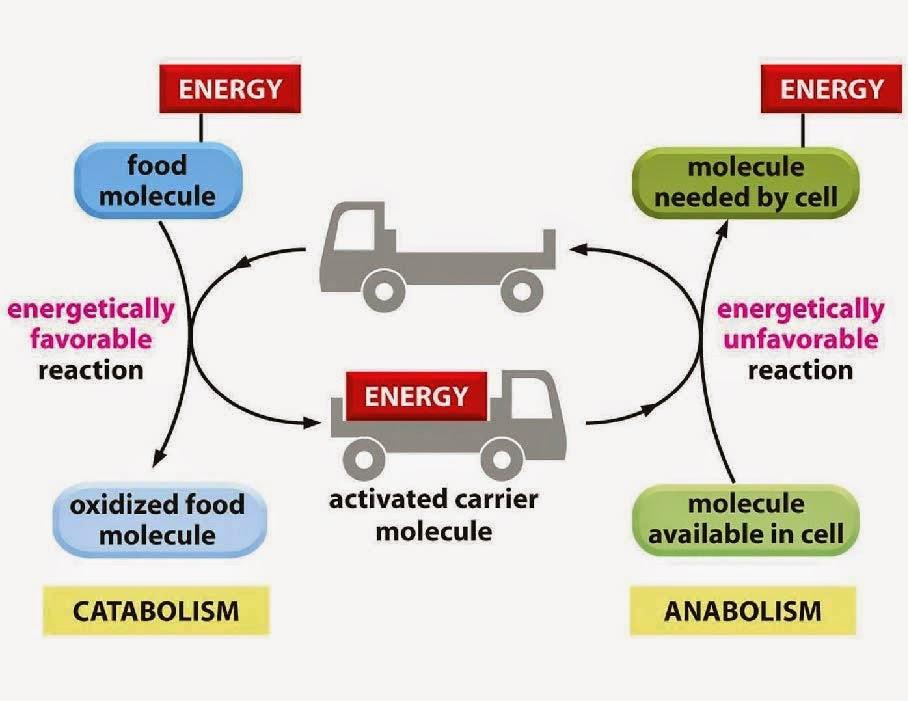 Activa tu metabolismo - ADELMED Nutrición y Medicina Estética