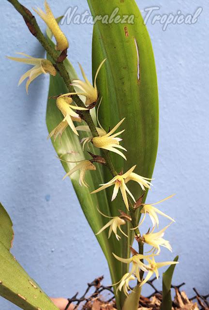Vista de la inflorescencia de la orquídea Eria javanica