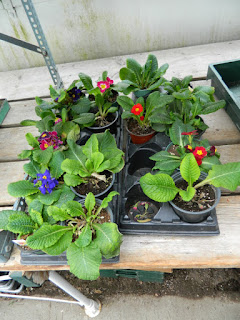 Sunnybrook Volunteer Association greenhouse primroses by garden muses-not another Toronto gardening blog