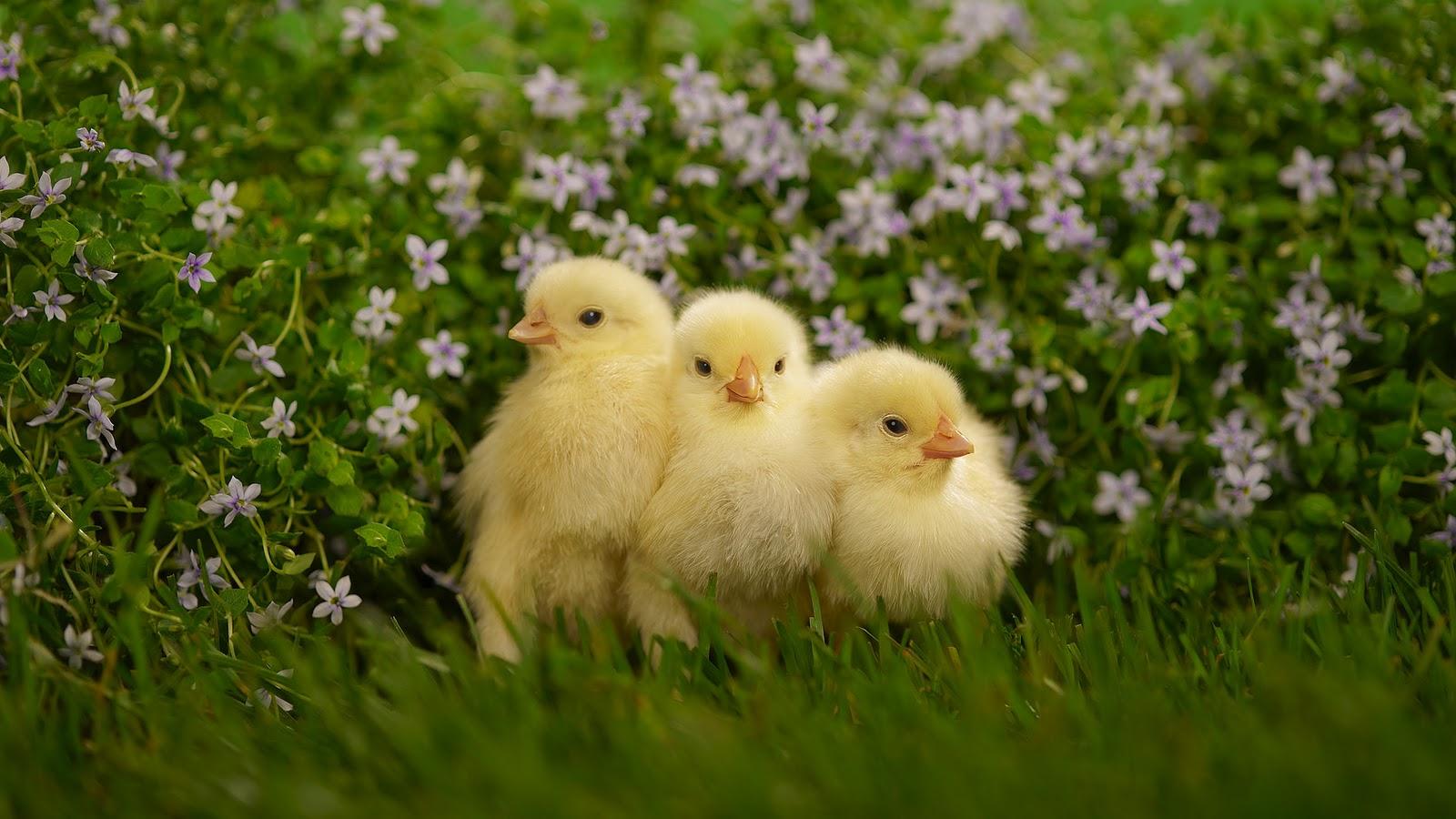 Cute Duckling Wallpaper Kippen Achtergronden Hd Wallpapers
