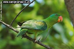 Mengenal Ragam dan Jenis Burung Betet Yang Ada di Indonesia