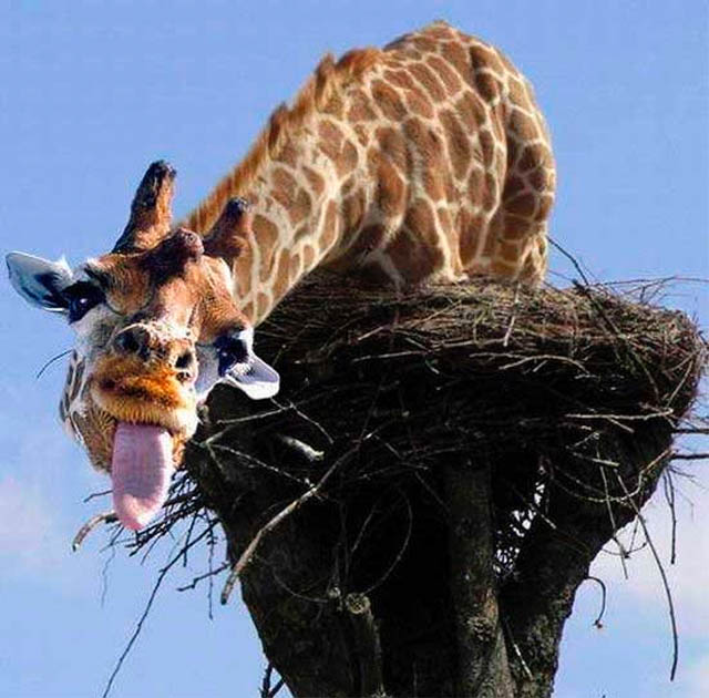 funny giraffe jokes - photo #27