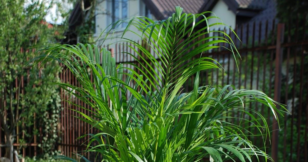 Przesadzać Palmę Jak I Kiedy Dziki Parapet
