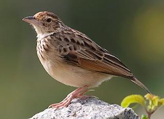 Burung Branjangan Srikayangan yang Melegendaris Bagi Para Penghobi Branjangan Mania