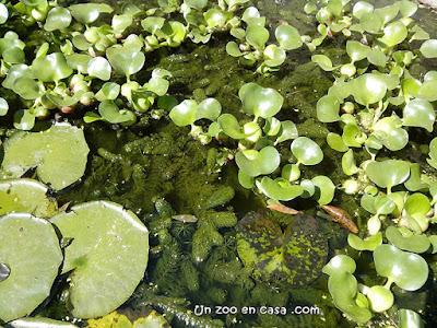 Combinación de nenúfar, jacinto de agua y cola de zorro