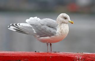Kumliens Gull with dark wings in St.John's