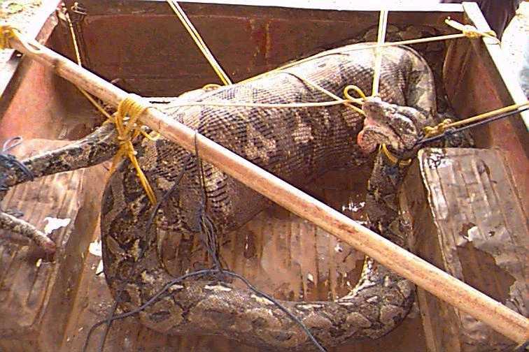 Anaconda eats boy