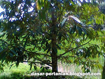 Cara Mengatasi Pohon Durian Yang Tidak Mau Berbuah