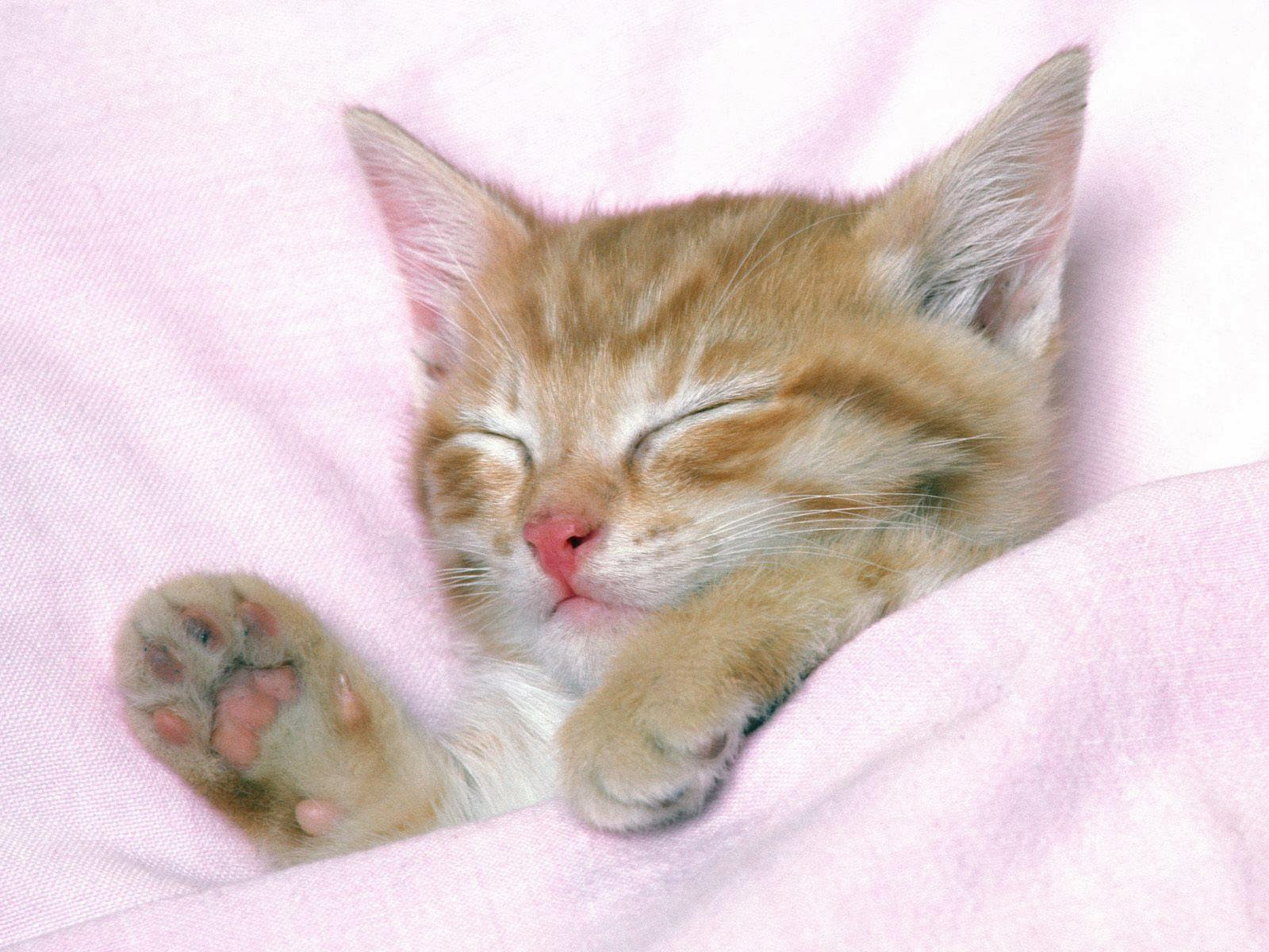 Kucing Tidur