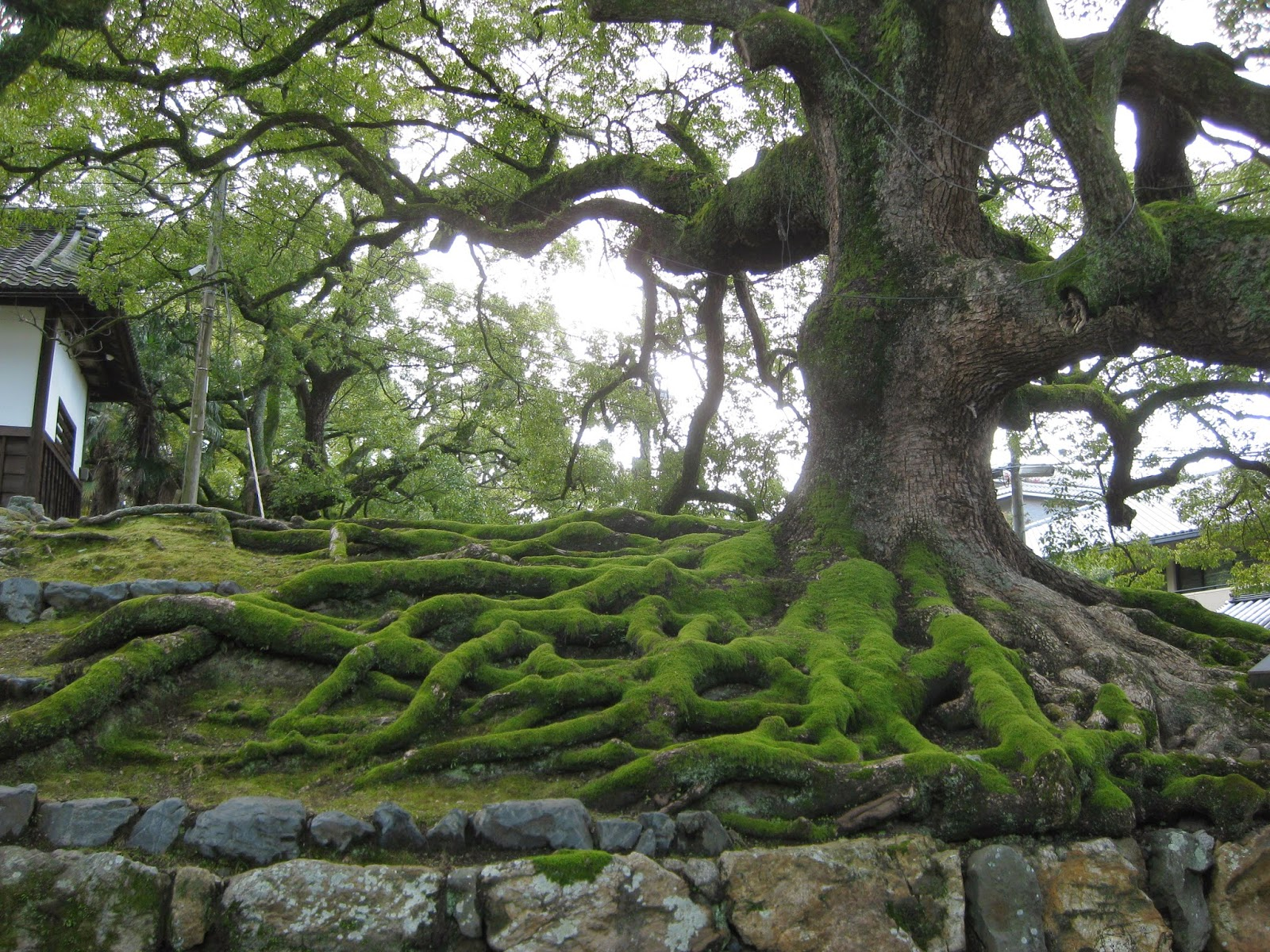 Kyoto - Cool tree and exposed roots at a temple