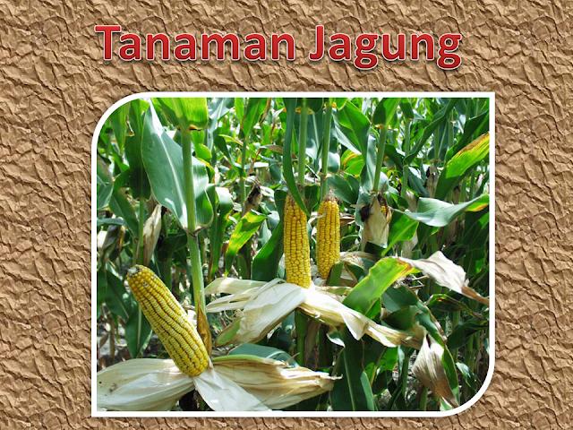 Budi daya tanaman jagung