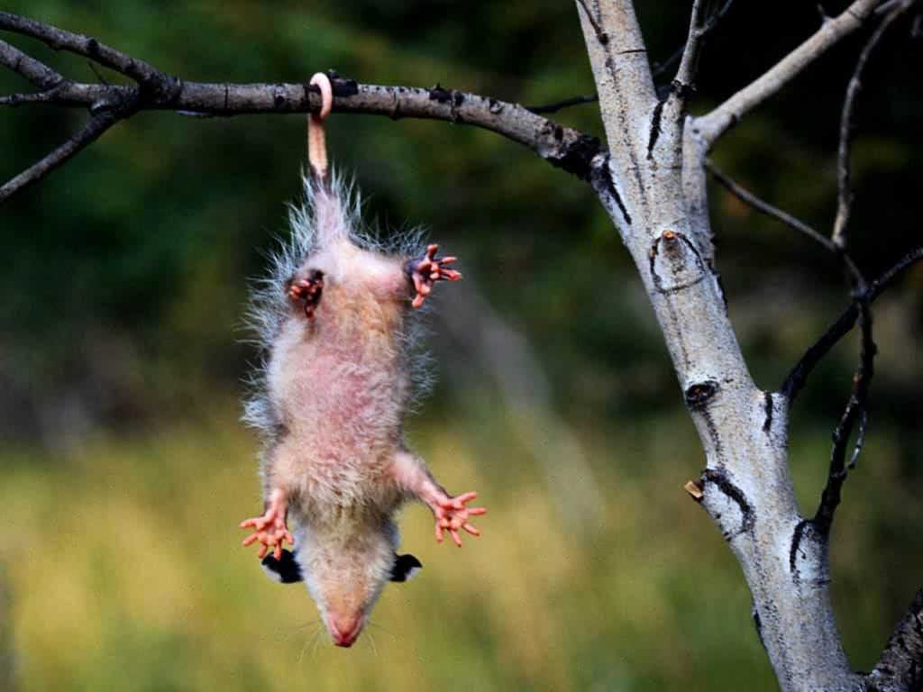 Do Possums Sleep Trees