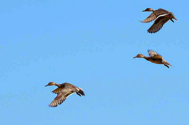 3 ducks in flight