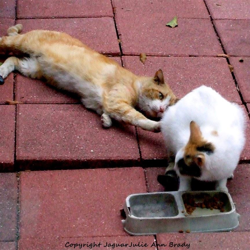 orange male tabby cat fraternizing with white female cat