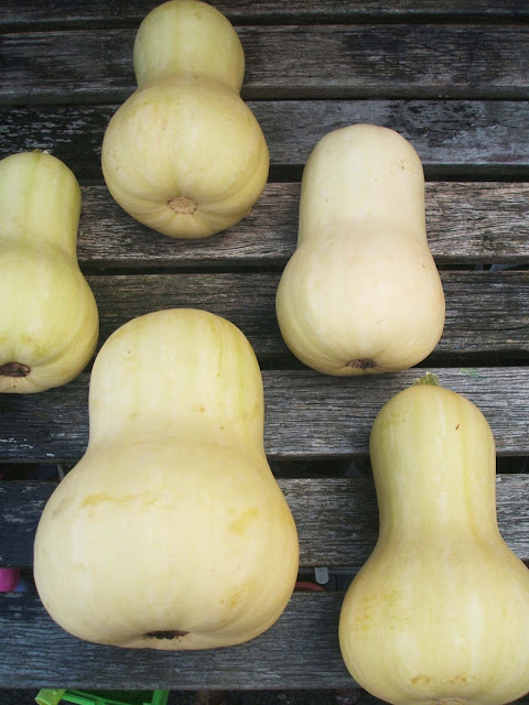 butternut squash harvest from our allotment
