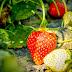 Baguio: Strawberry Fields (La Trinidad) Forever.