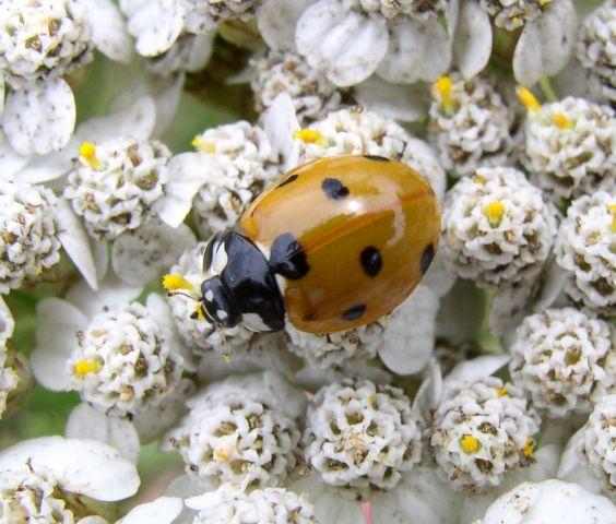BeautifulNativePlants: Ladybugs, Lady Beetles Or Ladybird
