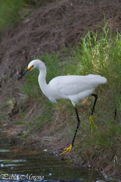 "alt=""garcita blanca,Egreta thula,aves de Mendoza,garzas de Mendoza)"
