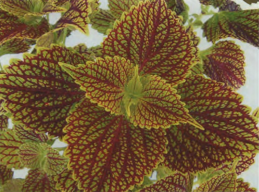 Earth And Space News Coleus Plant Uf10 45 12 Has Chartreuse
