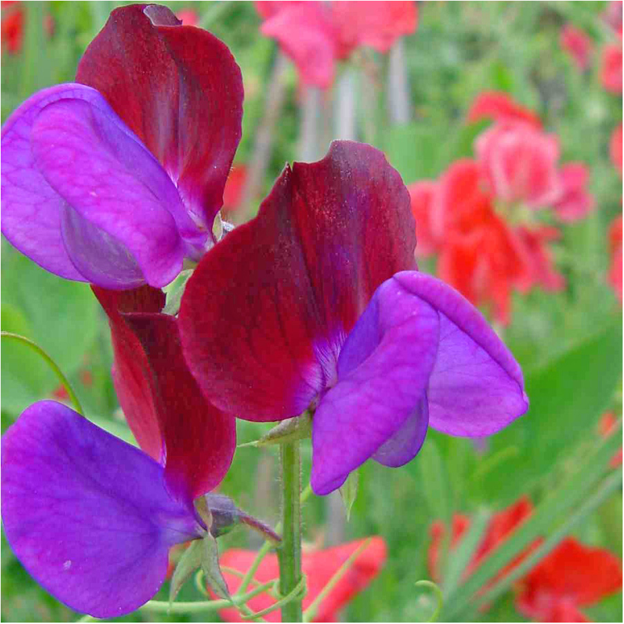 May\'s Purple Flowers