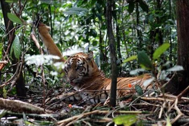 Belum Lama Orang Ini Bertemu Harimau Jawa di Gunung Raung Banyuwangi