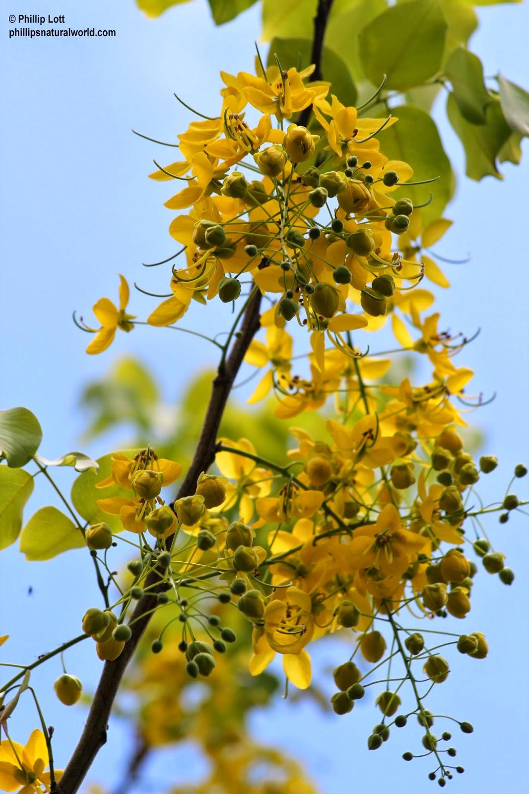 Golden Shower Tree Phillips Natural World